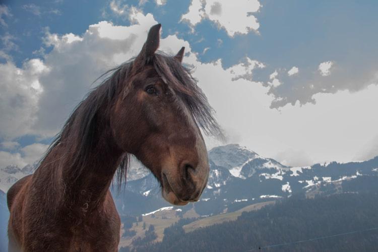 Chevel brun heureux d'être en pension au manège de Château-d'Oex - Ecole d'équitation Jean Blatti